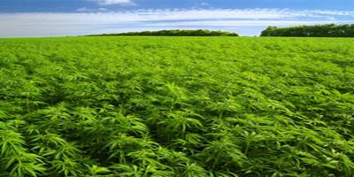 CannabisSativa2907