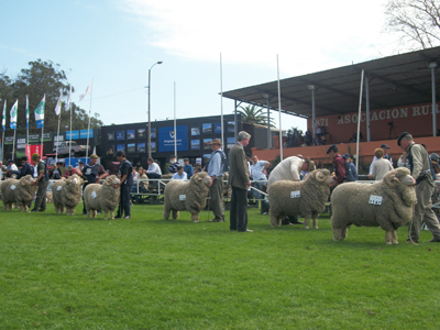 Hacía muchos años que no se veía una fila de Merinos como ésta en la Rural del Prado.