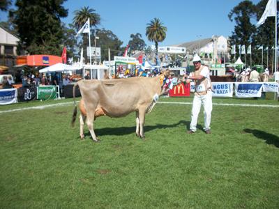 Esta es la Gran campeona Jersey de la Expo Prado y pertenece a  Cecilia Gallinal que en la raza arrasó con los títulos.