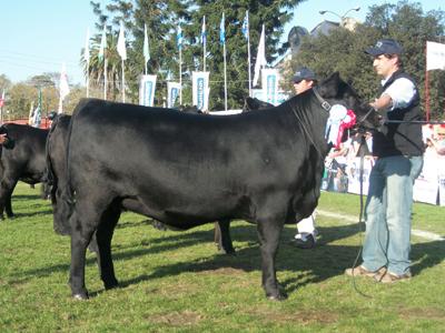 Un triunfo para festejar de cabaña MonteGrande de la familia  Trila, la campeona ternera Angus en la Expo Prado 2012.