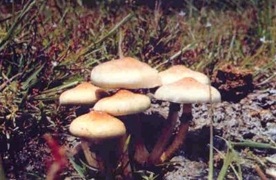 Cucumelos