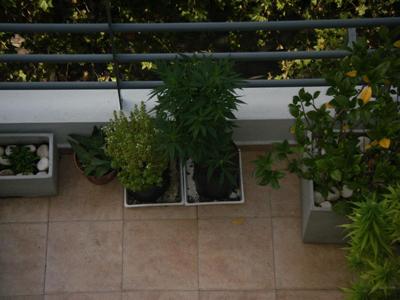 foto marihua 1