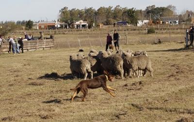 Uno de los perros pastores en plena acción.