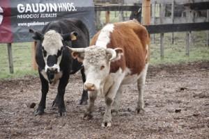 Faltó el ganado gordo, pero hubo lotes de invernar de diferente calidad.