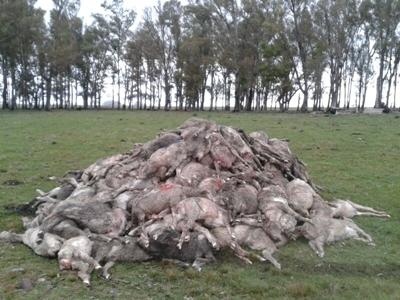 La mortandad de lanares, fruto de diferentes ópticas.