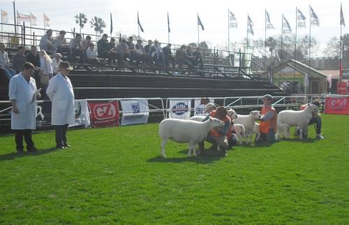Las nuevas razas. Las razas ovinas de carne son vistas con mayor interés en el momento actual.