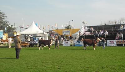 El Campeón Ternero Menor expuesto por Agropecuaria El Sueño y Limitour S.R.L. (a la izquierda)