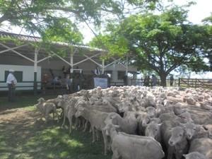 Parte de los lanares vendidos ayer en Santa Catalina