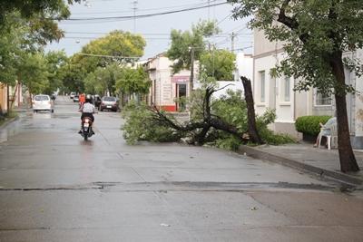 En Cervantes casi Treinta y Tres cayó un árbol en ocasión de la racha de viento  en la tarde del viernes.