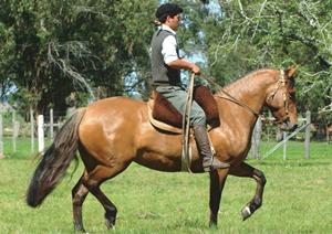 Aquerenciada Zaranda – Dos Querencias- precio máximo de las yeguas Criollas
