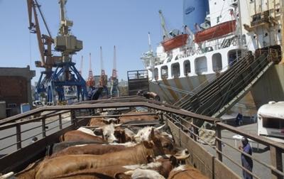 exportacion-de-ganado_300276