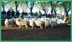 Los lanares se vendieron a razón de 50 dólares por animal.
