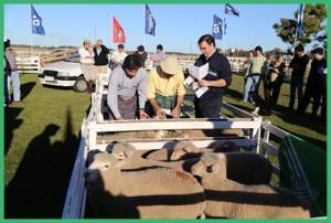 Jura en pie del concurso de corderos pesados