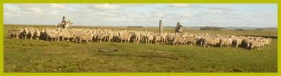 La raza Merino Australiano una de las más extendidas en el norte. Foto: majada Merino  Australiano de cabaña Ibirapitá de Correa Hnos. en paraje Sopas- Salto.