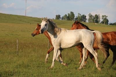 Parte de la oferta de caballos árabes que saldrán a la venta el viernes