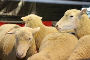 La buena calidad de los lanares que integraban la oferta de las tres reconocidas cabañas fue determinante para la colocación total en un momento en que el mercado muestra incertidumbre.