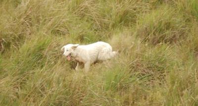 perro maremanno