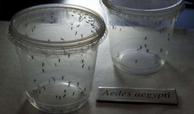 MosquitosAedes