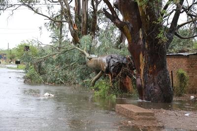 Uno de los árboles más grandes cayó en calle Atahualpa frente a la cancha de baby fútbol de Nacional