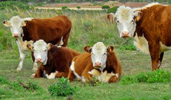 Vacas,jpg