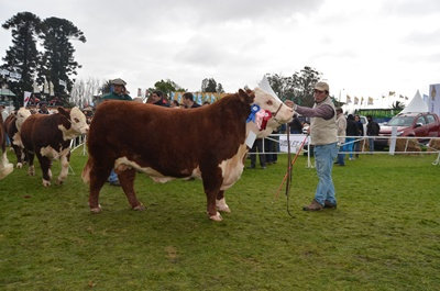 Tercer  Mejor Macho Polled Hereford de Soc. Gan. San Salvador