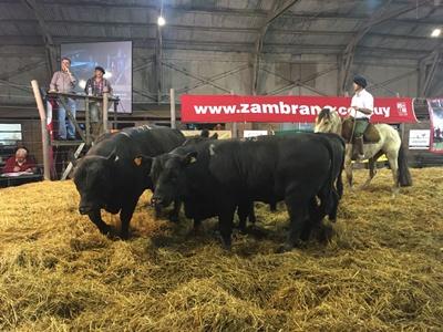 Los toros Angus promediaron los 3.518 dólares