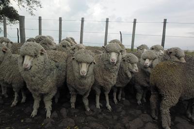 Paradójicamente las lanas finas subieron menos que las gruesas