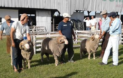 Los tres mejores carneros de la muestra