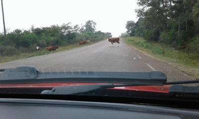 Muestra de la situación, rato después del accidente varias vacas atravesando la ruta