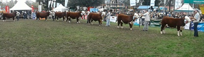 Fila de campeones Polled Hereford