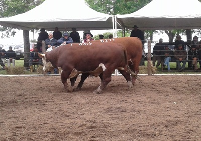Los toros Polled Hereford PI promediaron 3.479 dólares