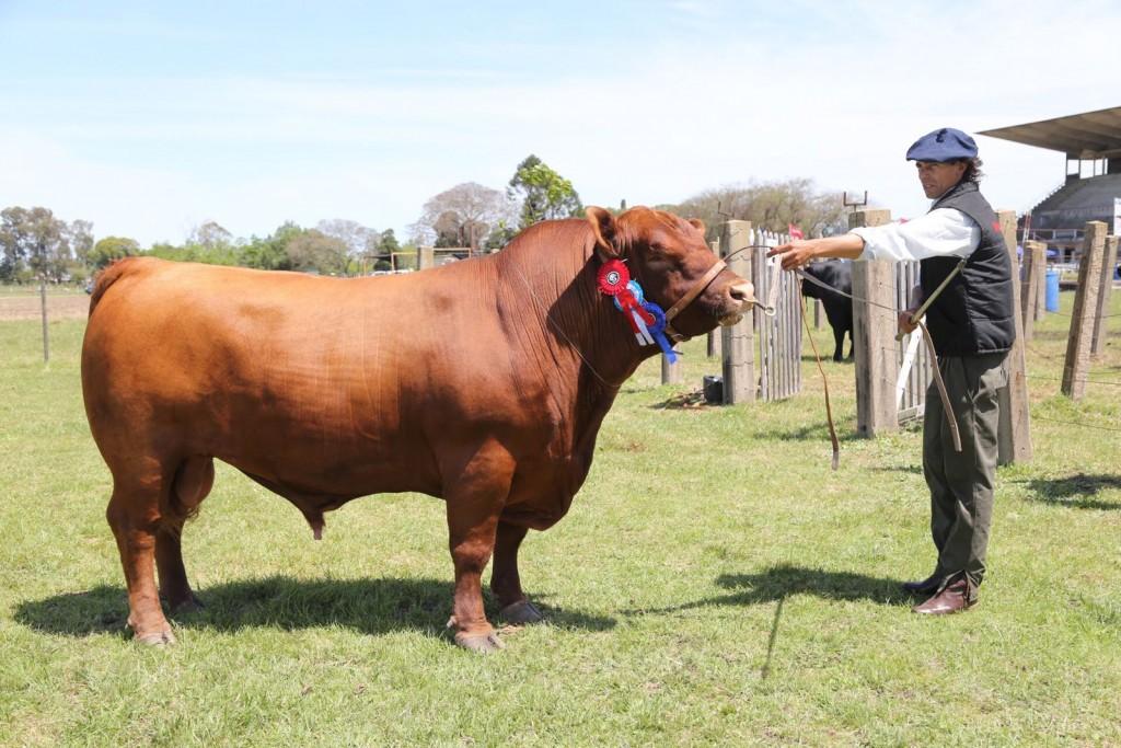 El tercer mejor toro macho de la Expo Salto de Cabaña Monte Grande a la venta hoy