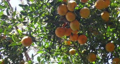 peligra-citricolas