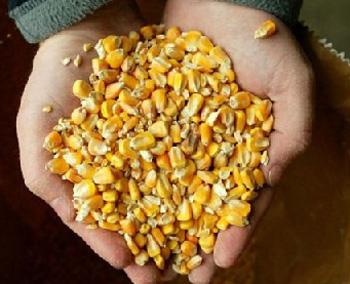 transgenico maiz mano