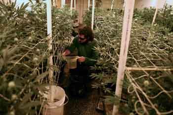 Un trabajador de El Piso, un organismo en Montevideo registrado ante el gobierno para producir y distribuir cannabis
