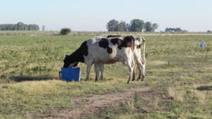 vacas tambo