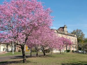 lapacho-rosado-puerto