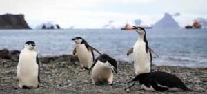 El dilema del turismo antártico Foto del pasado 16 de enero que muestra a pingüinos que conviven junto a los barcos turísticos que a diario  recorren la Isla Rey Jorge (Antártida). EFE/Federico Anfitti