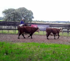 Vacas gordas hicieron hasta 900 dólares