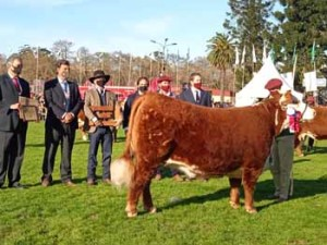 Gran campeona Polled Hereford